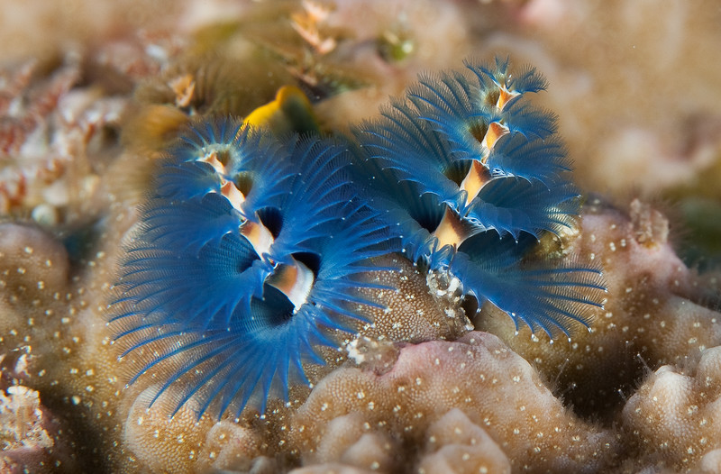 Christmas tree worms which pop back into their coral home at the slightest disturbance. Palau.