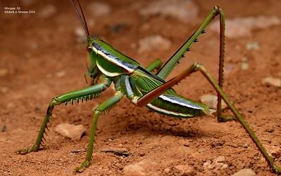 Katydids (Tettigoniidae)