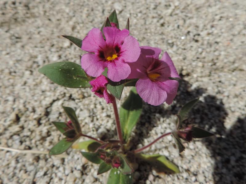 Bigelow's Monkeyflower (Diplacus bigelovii) PHRYMACEAE