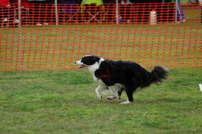 Flyball, Geelong, May 2006 (Part 3)