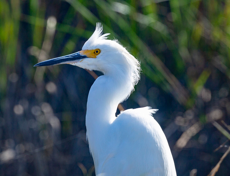 A Snowy Egret shows us his beautiful face.