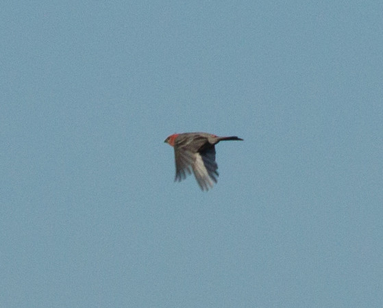 Pine Grosbeak   Mammoth Lakes 2012 07 25 (2 of 2).CR2