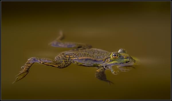 Meerkikker/Eurasian Marsh Frog