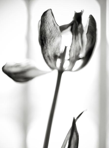 tulip,-dining-room-window.02.jpg