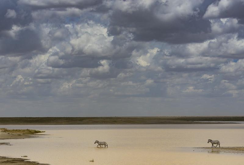 Zebras-storm-coming-Tanzania.jpg