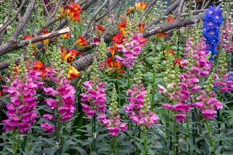Snapdragons galore!