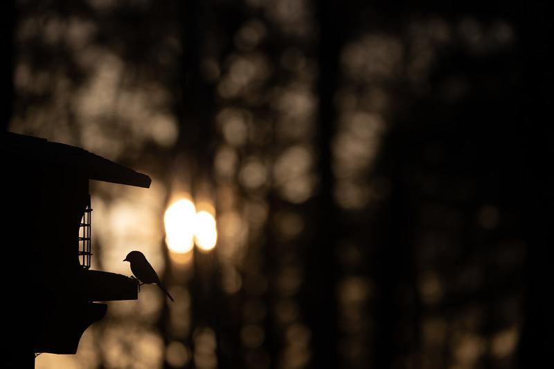 Black-capped Chickadee at feeder backlit backlighting Skogstjarna Carlton County MN  IMGC9381.jpg