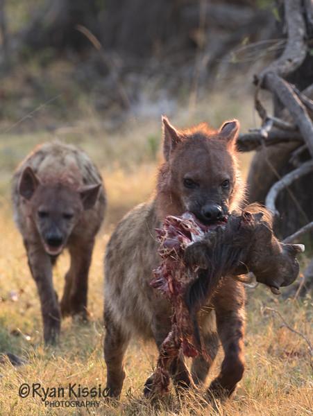 Dinner time, hyena style