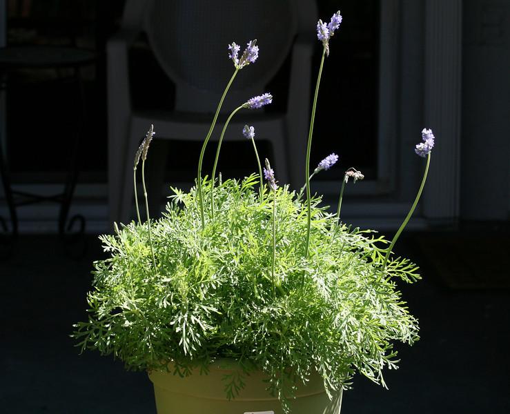 Jagged Lavender