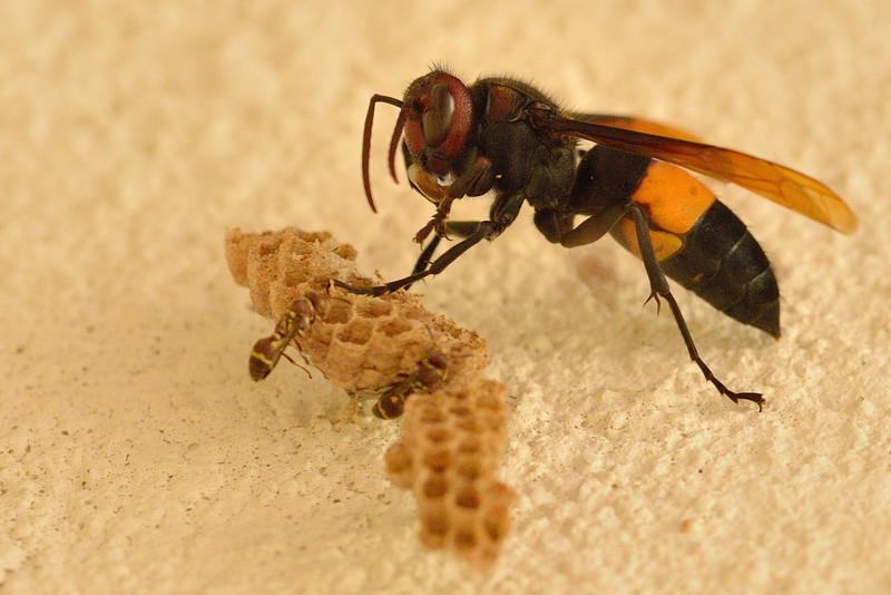 Wasp-predation-on-paper-wasp-01.jpg