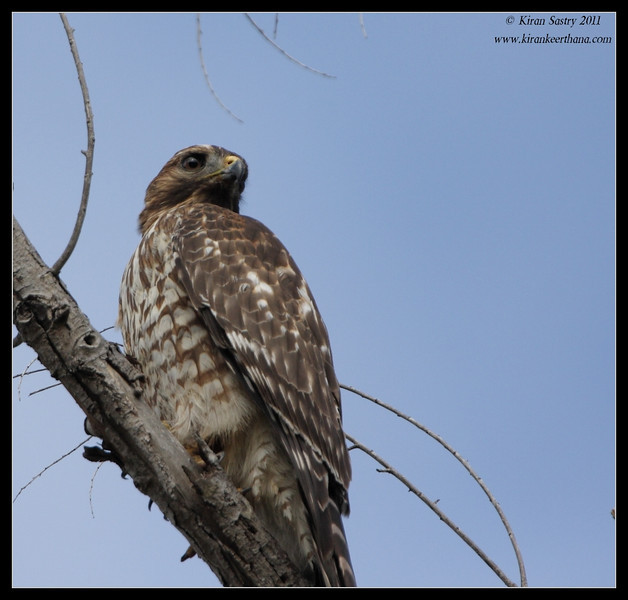 Red-shouldered Hawk juvenile, Lindo Lake, San Diego County, California, November 2011