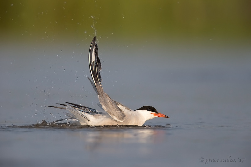 Common tern bathing