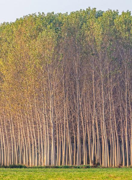 Piedmont Poplars