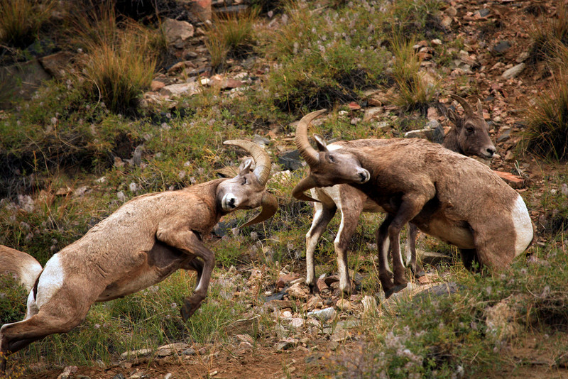 Big Horn Sheep - Georgetown, Colorado