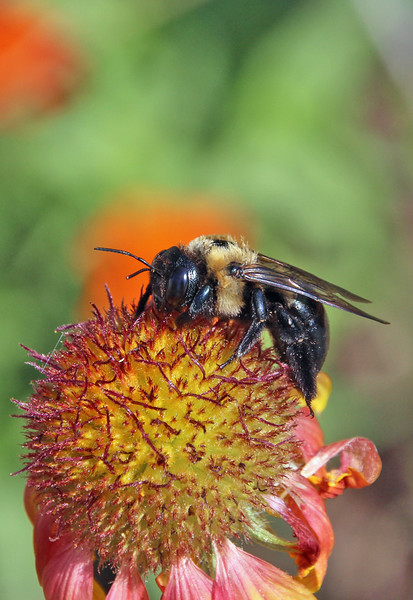Bumble bee 36