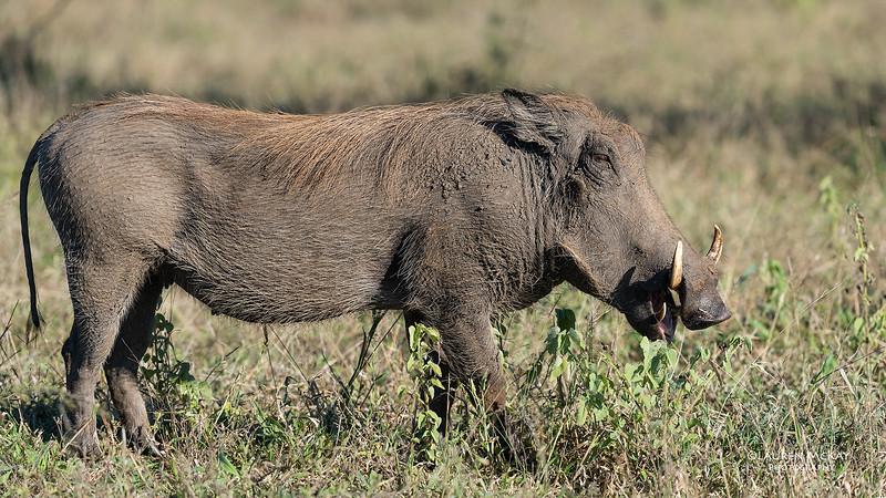 Warthog, South Africa, May 2017-1.jpg