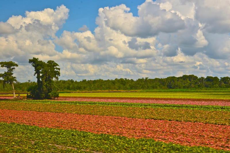 Caladium farm field