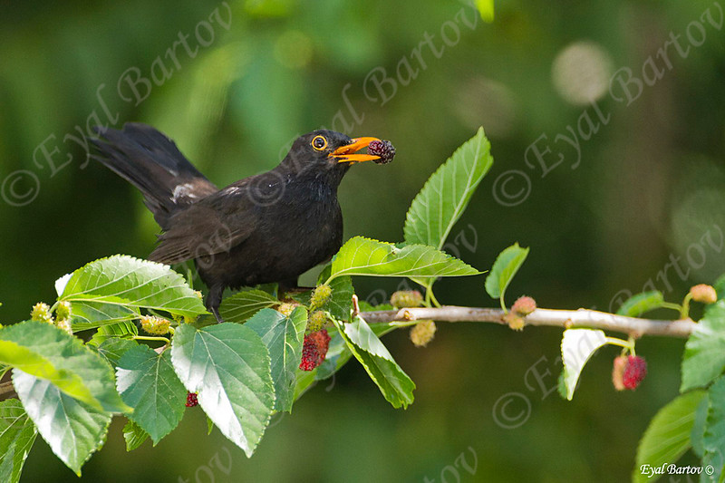 שחרור - Common Blackbird (Turdus merula) 12
