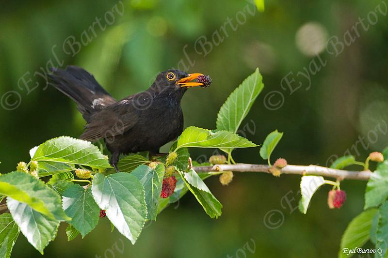שחרור - Common Blackbird (Turdus merula) 12
