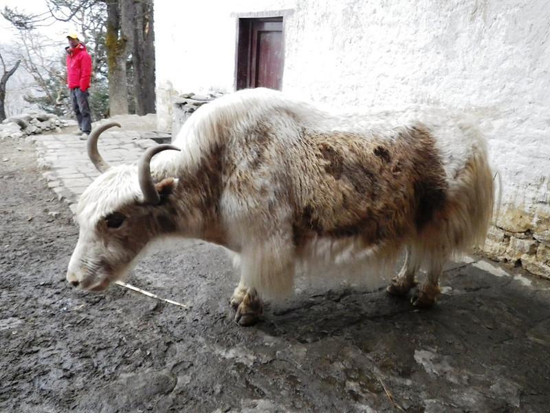 White yak.