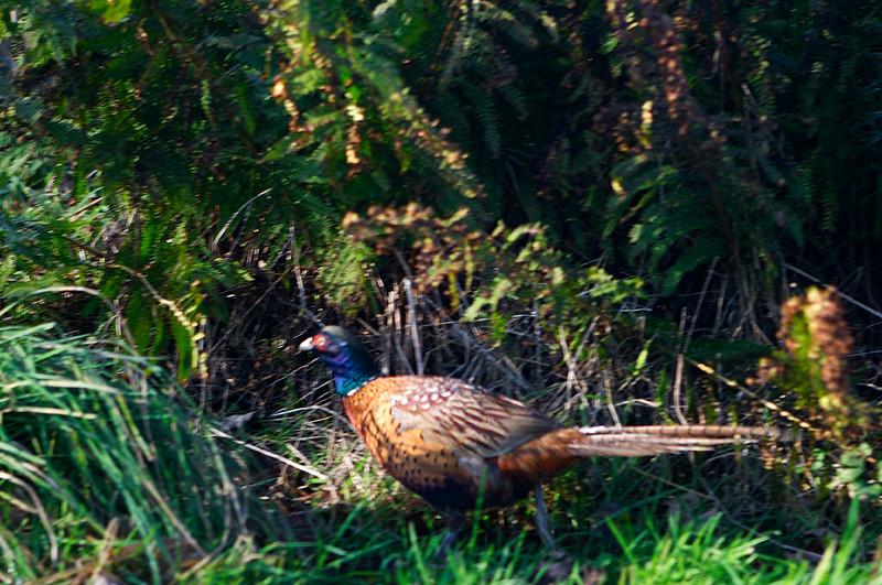 Pheasant!