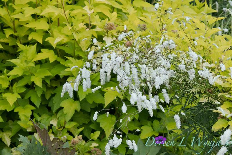 Sanguisorba tenuifolia var. Alba_0285.jpg