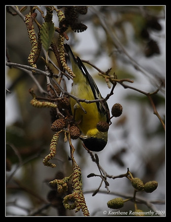 Finches, Goldfinches, Crossbills