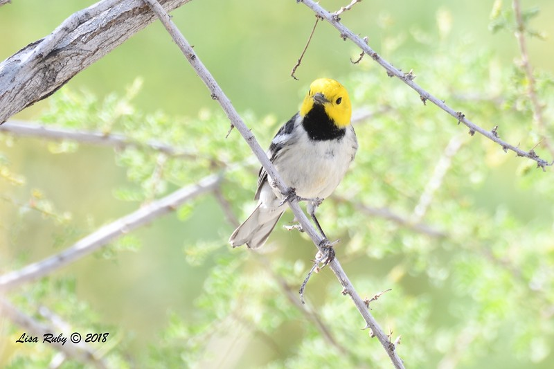 Hermit Warbler  - 4/15/2018 - Agua Caliente County Park Nature Trail