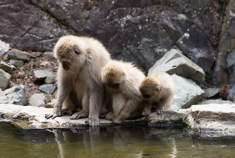 Snow Monkeys Peering Into Water