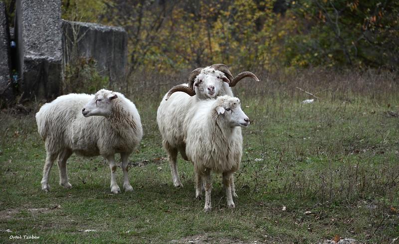 כבשים2.jpg