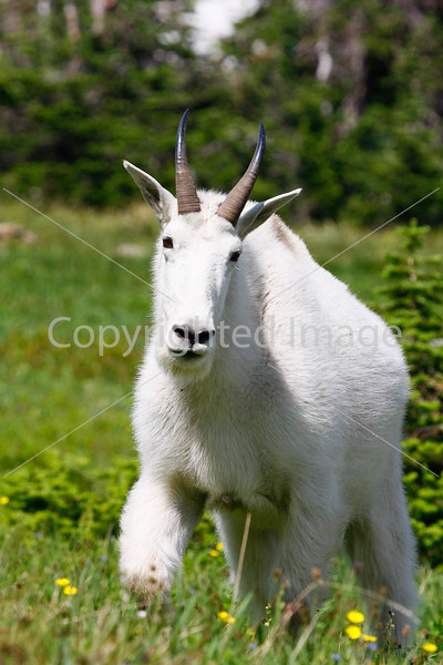 Glacier National Park Loop #4 - Rocky Mountain Goats