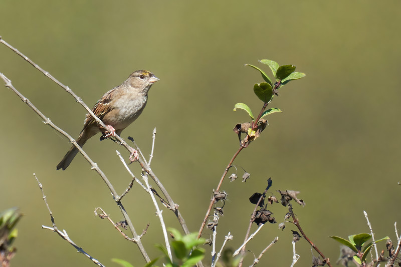 Golden-crowned Sparrow at Point Reyes