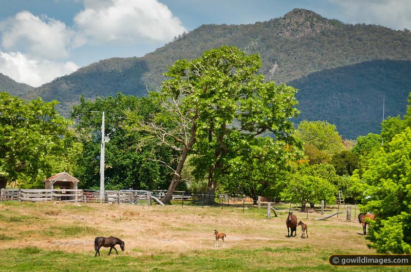 Mares and foals near Walwa, with Mt Burrowa behind