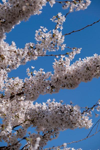 Blossom, cherry trea, London, United Kingdom