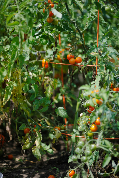 Harvest time at Canoe Meadows Communty Garden-081619
