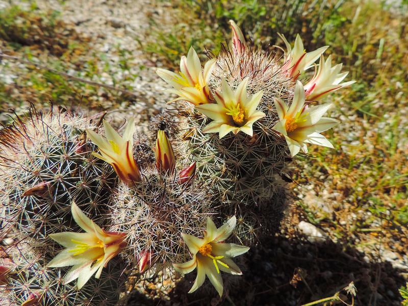 Fishhook Cactus (Mammillaria dioica) CACTACEAE