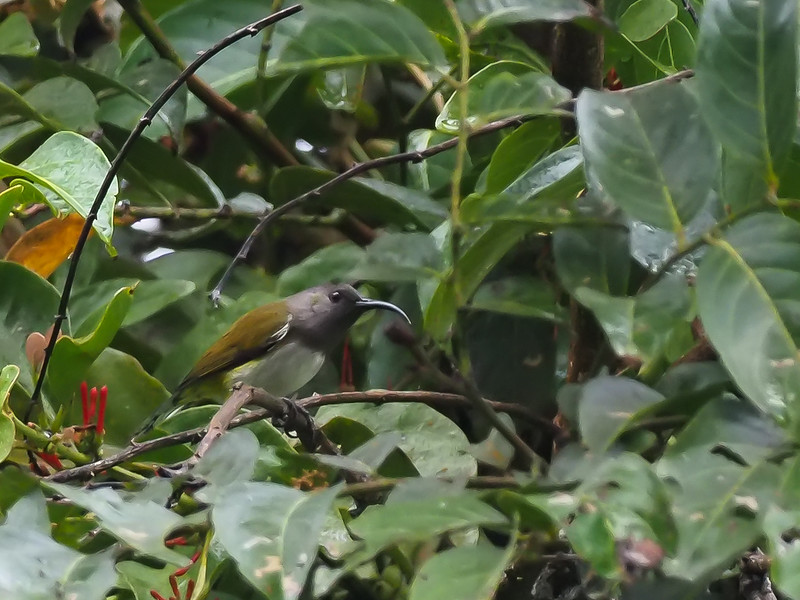 Grey-hooded Sunbird