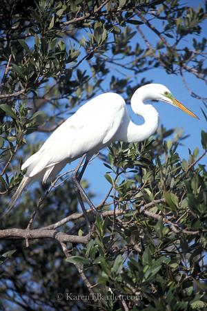 s73 White heron