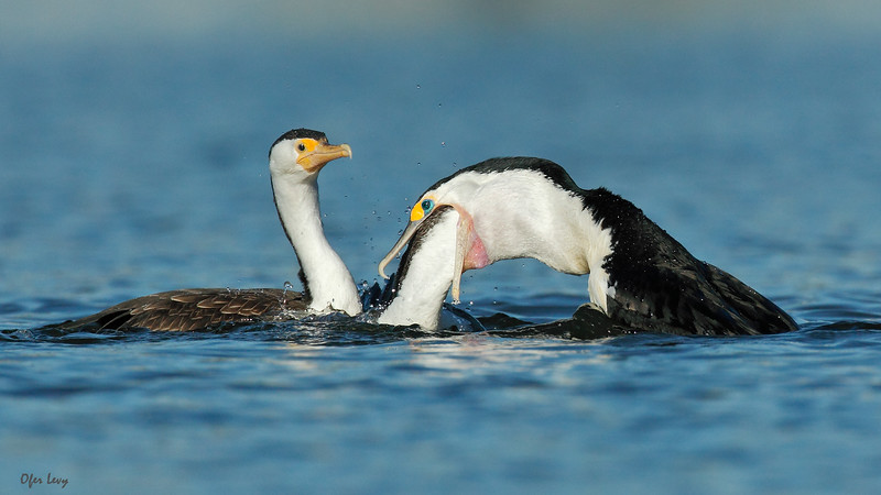 Pied Cormorant feeding 2 babies MASTER.jpg