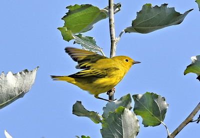 YELLOW WARBLERS, SEPT 2019