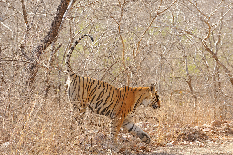 Wild tiger spray or scent marking his territory in Ranthambore tiger reserve, India