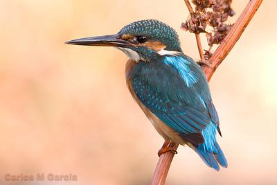 Kingfisher (Martín pescador)