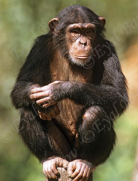 שימפנז 3.jpg