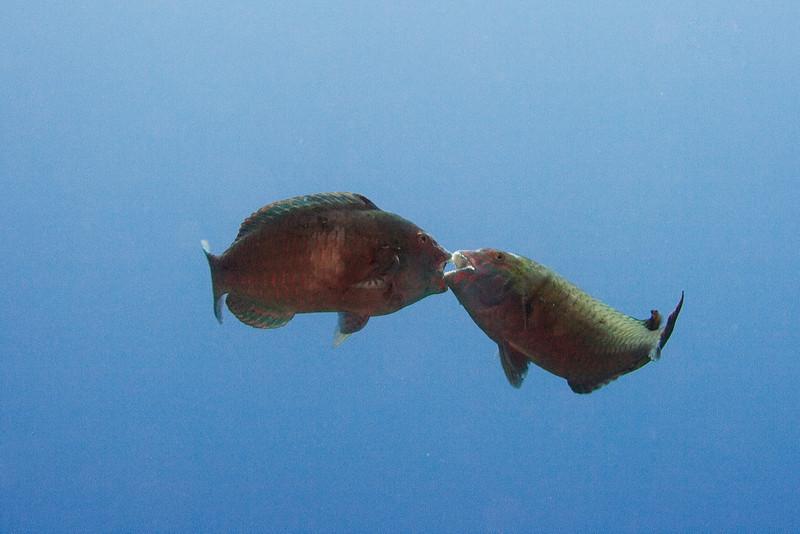 Parrotfish Battle 2.jpg