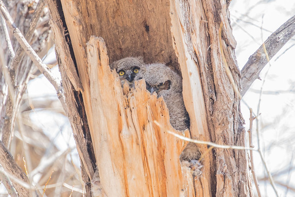Twin Lakes Owls (2)