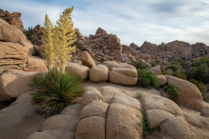 A yucca blooms in the granite wonderland of Joshua Tree National Park.