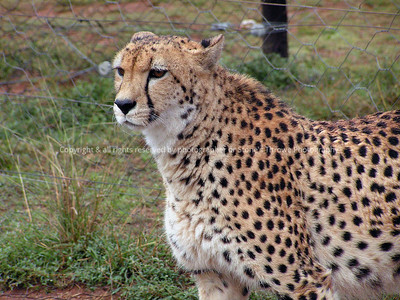 025-cheetah-nlg_so_africa-15jul06-1335