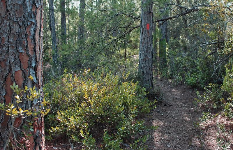OCALA Farles sand pine scrub.jpg