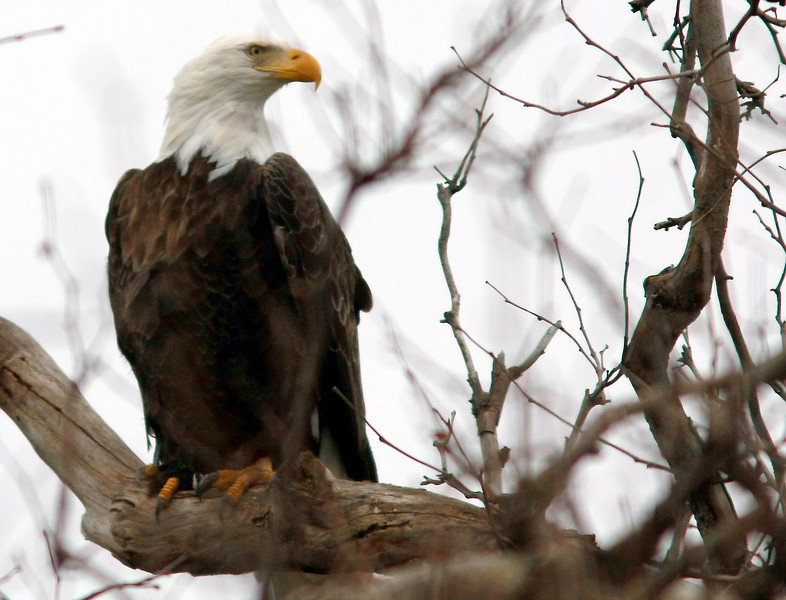 Bruce Rd. Bald Eagle