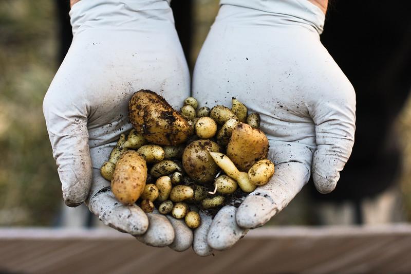 miniature potato harvest